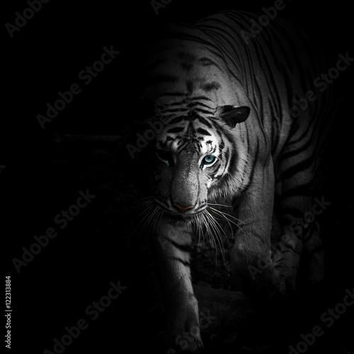 Poster Panter Tigers