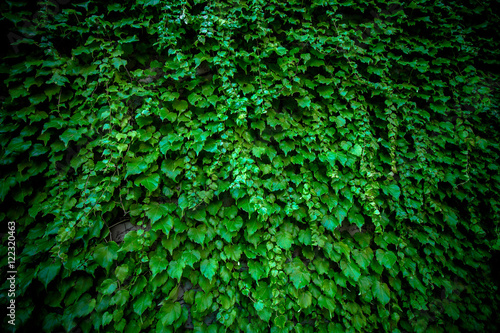 Fotografie, Obraz  Dark ivy vine leaves on wall.