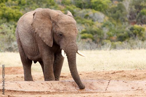 Aluminium Prints Elephant Sucking Up The Water - African Bush Elephant