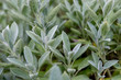 Echter Salbei Pflanze