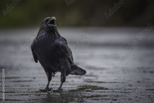 Canvas Print Crow calling