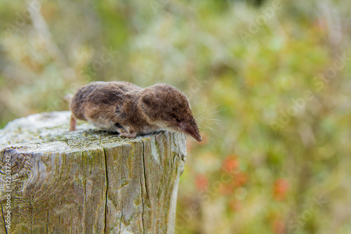 Fotografie, Obraz  a dead shrew on a post in the dune region near The Hague, the Netherlands