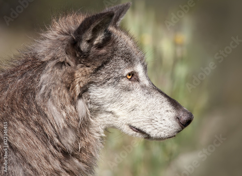 Canvas Prints Wolf Profile of a Gray Wolf's face