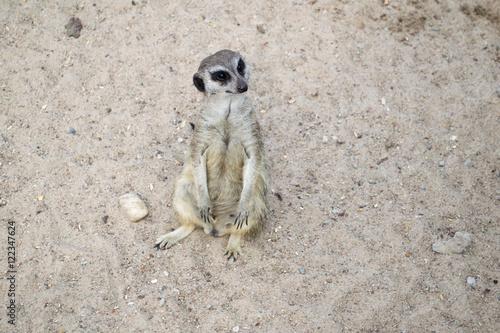 Photo  Surykatka - mieszkaniec pustyni