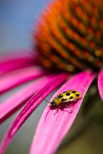 Cucumber Beetle On Echinacea