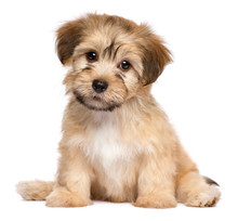 Cute Sitting Havanese Puppy Do...