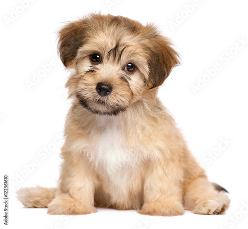 Cute sitting havanese puppy dog - isolated on white Wallpaper Mural