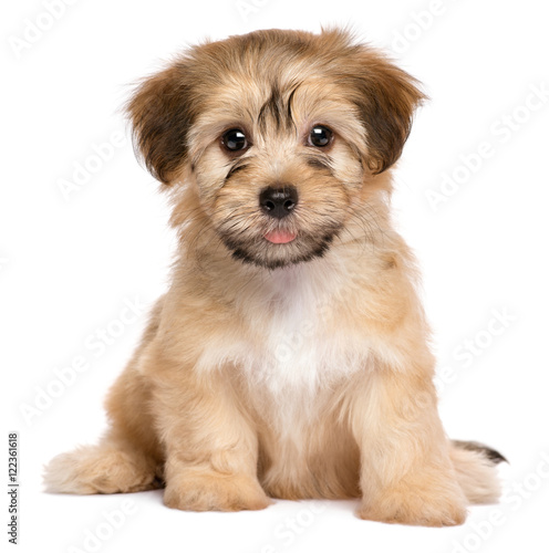 Canvas Print Cute sitting havanese puppy dog - isolated on white