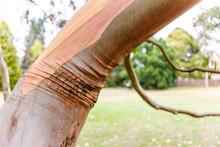 Eucalyptus In Autmn, Kew Garden