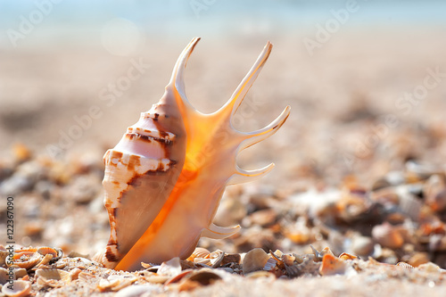 Foto op Aluminium Oranje eclat closeup exotic shell on sandy sunny beach, natural summer background