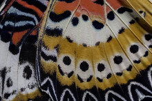 Closeup The Leopard Lacewing (Cethosia Cyane Euanthes Fruhstorfer) Detail Butterfly Wing