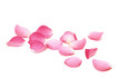 canvas print picture - Petals of roses on a white background