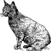 Vintage Illustration Cat
