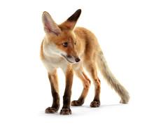 Cute Fox Cub Isolated On White