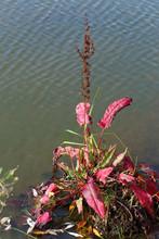 Rumex Confertus. Herba Cum Red Folia In Siberia