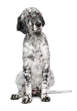 Cute 4 Months Old Blue Belton English Setter Puppy - Show Quality Female Dog - Isolated On White