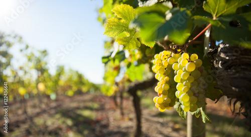 Fotografiet  Grappe de raisin dans les vignes