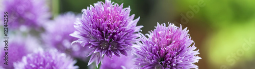 Fotografie, Tablou Banner - Chives (Allium schoenoprasum) in glorious pink flower.