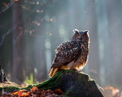 Fotobehang Uil Eurasian Eagle Owl (Bubo Bubo) sitting on the stump, close-up, wildlife photo.