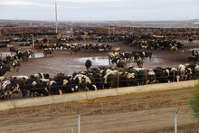 Black And White Cows Crowded I...
