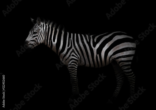 Aluminium Prints Zebra zebra in the dark