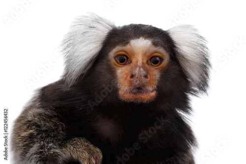 In de dag Aap Close-up portrait of Cute monkey Common Marmoset, Callithrix jacchus Isolated White background