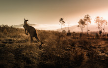Kangaroo Encounter During Sunrise