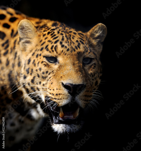 Poster Leopard Leopard on dark background