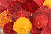 Autumn Leaf Red Aspen