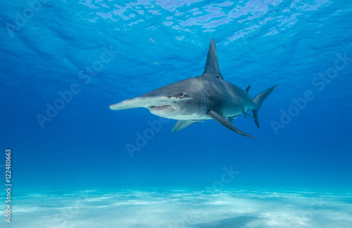 Obraz Great hammerhead shark underwater view at Bimini in the Bahamas. - fototapety do salonu
