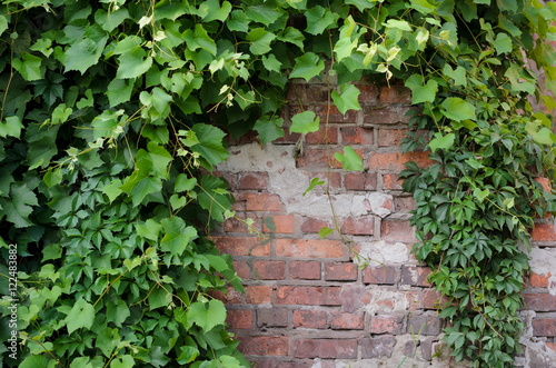 Valokuvatapetti Vines of Virginia ivy creeper on background of a brick wall