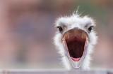 Fototapeta Zwierzęta - An ostrich with wide open beak, looking surprised
