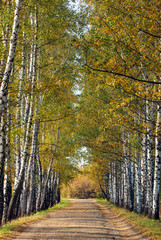 Fototapeta Brzoza Birches alley in early fall. Tree leaves turning yellow - natural autumn background