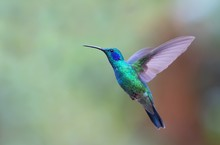 Green Violetear Hummingbird In...
