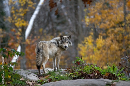 A lone Timber wolf or Grey Wolf (Canis lupus) standing on a rocky cliff looking back on a rainy day in autumn in Quebec, Canada