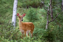 White-tailed Deer Fawn In The Forest In Canada