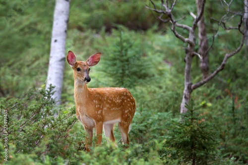 Fotobehang Hert White-tailed deer fawn in the forest in Canada