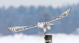 Snowy owl (Bubo scandiacus) takes off from post in winter, Canada - 122500255