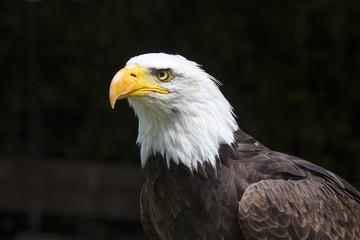 Beautiful north american bald eagle