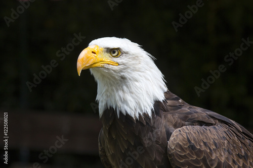 In de dag Eagle Beautiful north american bald eagle