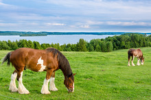 Clydesdale Horses Feeding On G...