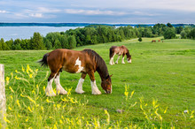 Clydesdale Horse Feeding In A Field