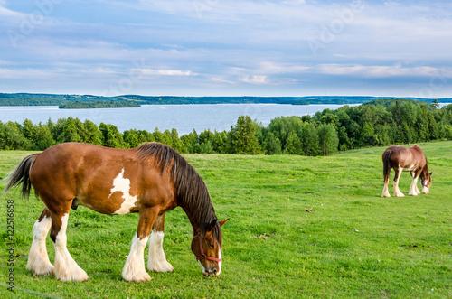 Valokuvatapetti Clydesdale horses feeding on grass