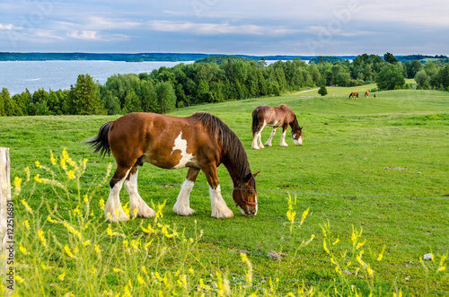 Valokuva Clydesdale horse feeding in a field
