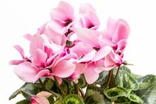 Flowers Of Pink Cyclamen Isola...