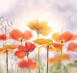 Obraz Poppy Flowers Blossom