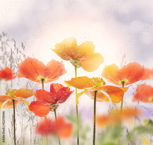 Poppy Flowers Blossom - 122518446