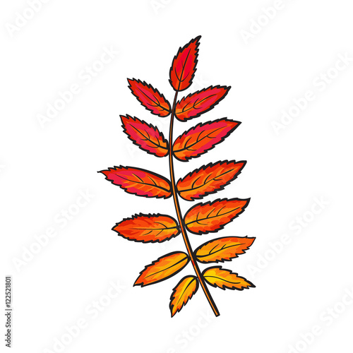 Fotografie, Obraz  Beautiful yellow red colored autumn rowan leave, vector illustration isolated on white background