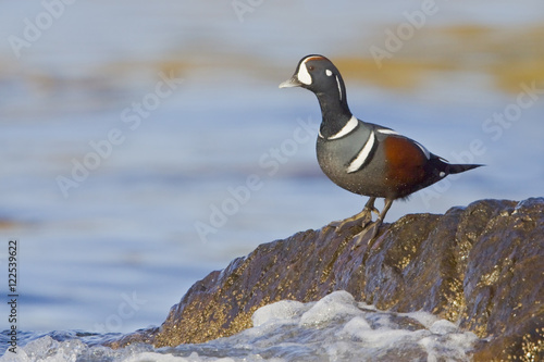 Harlequin Duck (Histrionicus histrionicus) perched on a rock in Victoria, BC, Canada Poster
