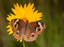 Colorful Common Buckeye Butter...